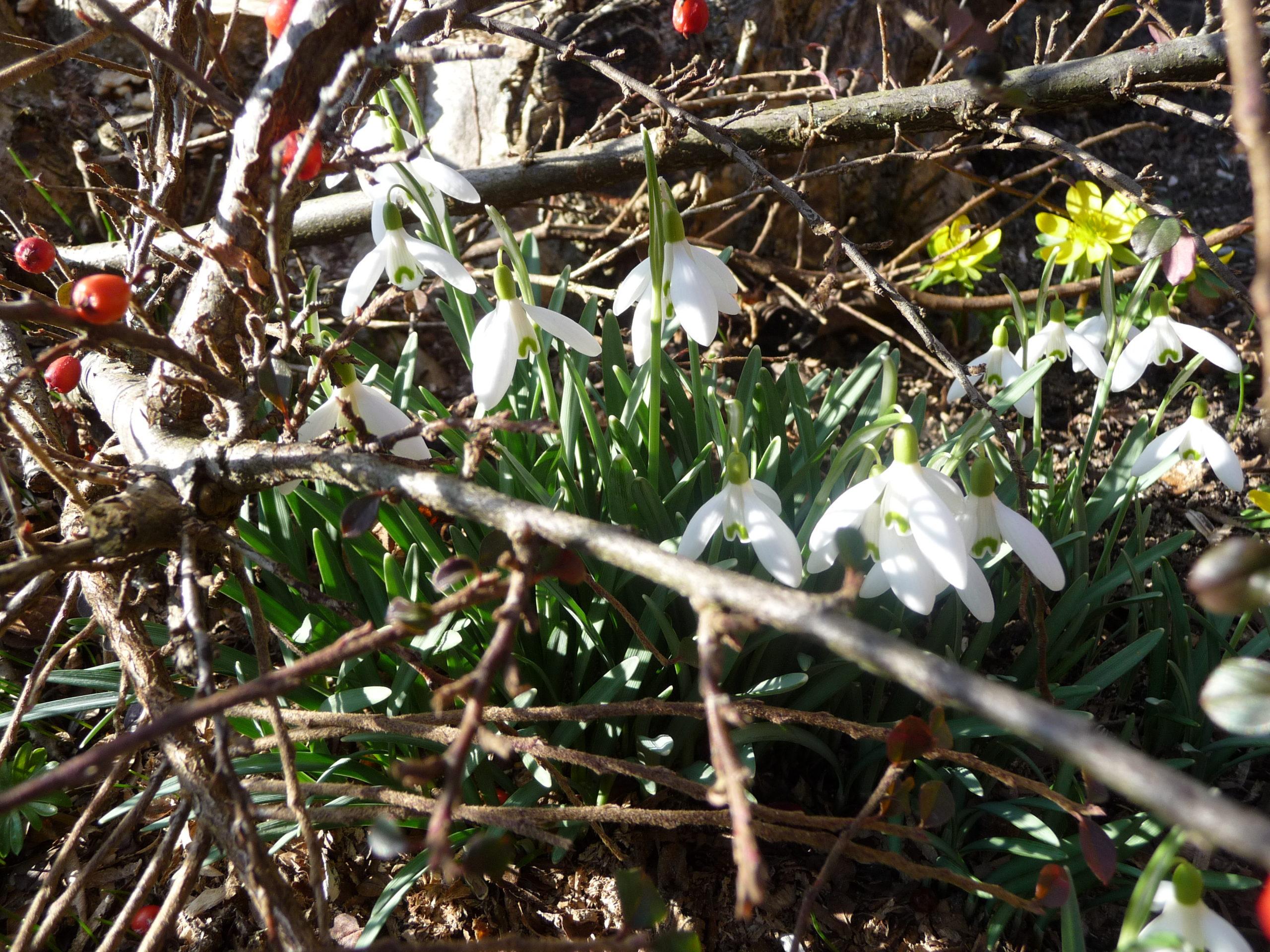 Erste Frühlingsboten in unseren Gärten